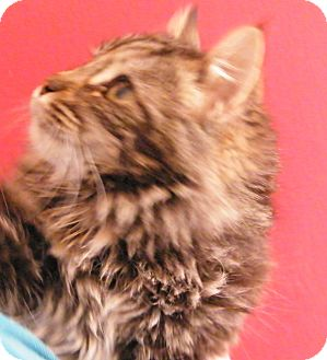 Maine Coon Kitten for Sale in cumberland, Rhode Island - Baby