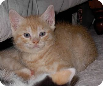 Domestic Shorthair Kitten for Sale in Sterling, Virginia - Popeye