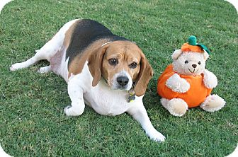 Beagle Mix Dog for adption in Phoenix, Arizona - Spook