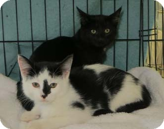 Domestic Shorthair Kitten for Sale in Merrifield, Virginia - Daniel & Desmond