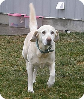 Labrador Retriever Mix Dog for Sale in Meridian, Idaho - Grace