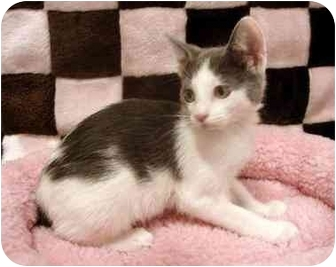 Domestic Shorthair Kitten for adoption in Dallas, Texas - Poppy