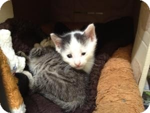 Domestic Shorthair Kitten for Sale in Oceanside, New York - Nemo