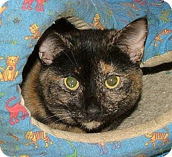 Domestic Shorthair Kitten for adoption in Chattanooga, Tennessee - Dina