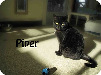American Shorthair Cat for Sale in Hamilton, Montana - Piper