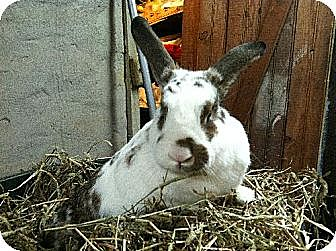 Mini Lop Mix for adoption in Taneytown, Maryland - Pumpkin