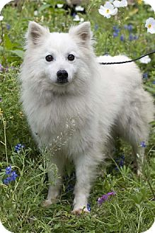 American Eskimo Dog/Spitz (Unknown Type, Medium) Mix Dog for adption in Somerset, Texas - Zeus