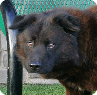 Chow Chow Mix Dog for Sale in white settlment, Texas - Si
