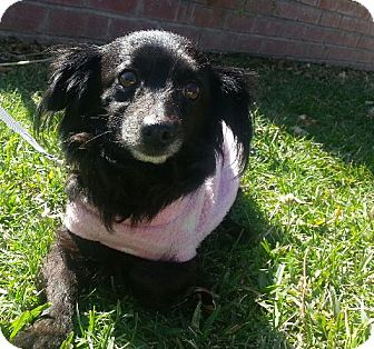 Papillon/Chihuahua Mix Dog for Sale in San Diego, California - MACY, so sweet!