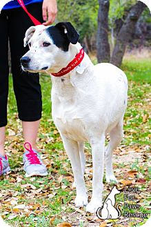 Pointer/Dalmatian Mix Dog for adption in Spring Branch, Texas - Lilly