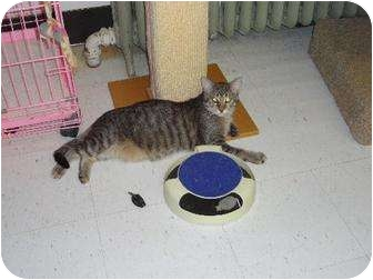 Domestic Shorthair Cat for adoption in Kenosha, Wisconsin - JJ