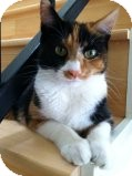 Calico Cat for Sale in La Canada Flintridge, California - Pretty
