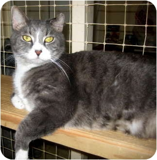 Domestic Shorthair Cat for adoption in Deerfield Beach, Florida - Eddie