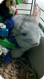 Chinchilla for Sale in Selden, New York - Amoroso