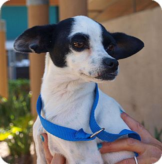 Rat Terrier Mix Dog for Sale in Chula Vista, California - Oreo