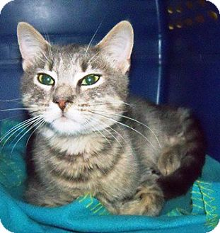 Domestic Shorthair Cat for adoption in Braselton, Georgia - *Cat2