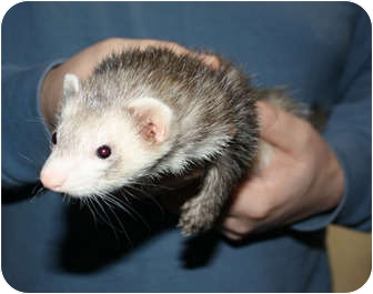 Ferret for adoption in Oregon City, Oregon - Deliah