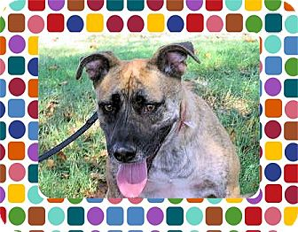 Black Mouth Cur/Shepherd (Unknown Type) Mix Dog for adption in Euless, Texas - Jazzy JJ Update