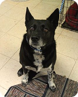 Cattle Dog Mix Dog for Sale in New cumberland, West Virginia - Odie