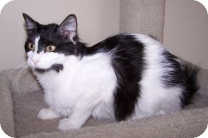 Domestic Mediumhair Cat for Sale in Colorado Springs, Colorado - Norma Jean