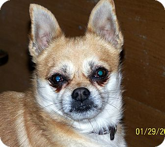 Chihuahua/Pomeranian Mix Dog for Sale in Niagra Falls, New York - Reeses $50 off adopt fee