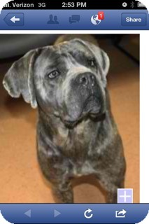 Cane Corso Mix Dog for Sale in Shirley, New York - Bella