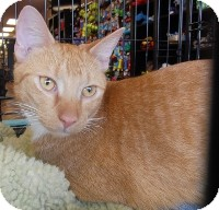 Domestic Shorthair Cat for Sale in Horsham, Pennsylvania - Flynn
