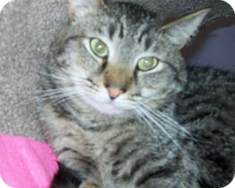 Domestic Shorthair Cat for adoption in Grants Pass, Oregon - Dodge