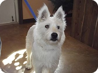 Westie, West Highland White Terrier/Shepherd (Unknown Type) Mix Dog for Sale in Granbury, Texas - Snowflake