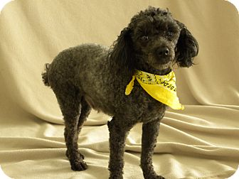 Poodle (Miniature) Dog for Sale in Princeton, Kentucky - Pepper