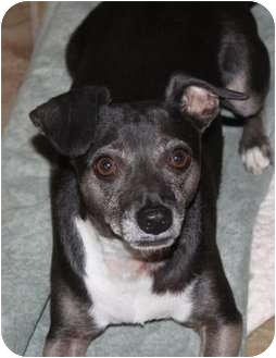 Chihuahua/Dachshund Mix Dog for adption in Fresno, California - SNOOKII