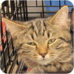 Domestic Shorthair Cat for adoption in Harrisburg, North Carolina - Charlie