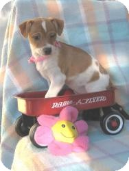Corgi/Terrier (Unknown Type, Small) Mix Puppy for Sale in Sussex, New Jersey - Penny