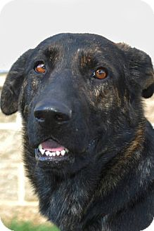 Shepherd (Unknown Type)/Labrador Retriever Mix Dog for adption in London, Kentucky - Oprah