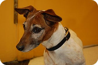 Jack Russell Terrier Mix Dog for Sale in London, Kentucky - Jailey