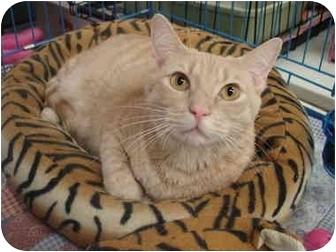 Domestic Shorthair Cat for adoption in Petersburg, Virginia - Creamy