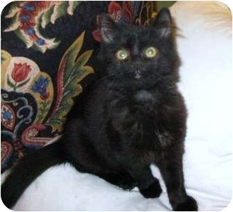 Domestic Mediumhair Kitten for adoption in Richmond Hill, Ontario - Twilight