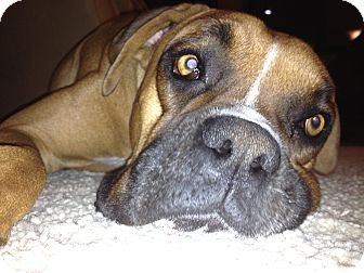 Boxer Dog for Sale in Phoenix, Arizona - Kingston