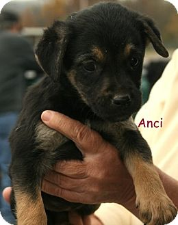 Terrier (Unknown Type, Medium)/Shepherd (Unknown Type) Mix Puppy for Sale in Danbury, Connecticut - Anci ADOPTION PENDING