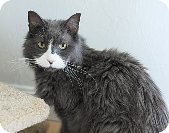 Domestic Mediumhair Cat for Sale in Salem, New Hampshire - Corey