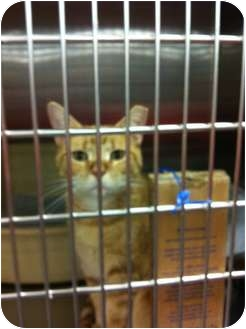 Domestic Shorthair Cat for adoption in Pittstown, New Jersey - Josephine
