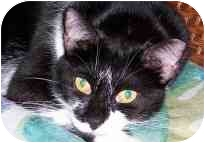 Domestic Shorthair Cat for adoption in Melbourne, Florida - Deco