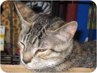 Domestic Shorthair Cat for adoption in Little Falls, New Jersey - Kelly (DH)