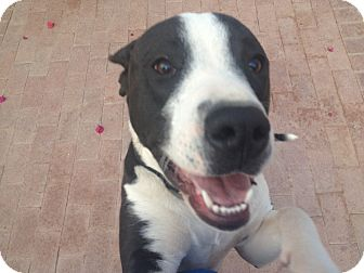 Pit Bull Terrier/Pointer Mix Puppy for adption in Tucson, Arizona - SAM
