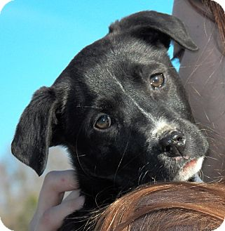 Labrador Retriever/Border Collie Mix Puppy for Sale in Sussex, New Jersey - Savannah