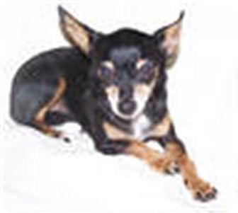 Chihuahua Mix Dog for Sale in Clear Lake, Washington - Cindy