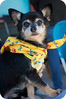 Chihuahua/Terrier (Unknown Type, Small) Mix Dog for Sale in Baton Rouge, Louisiana - Brutus