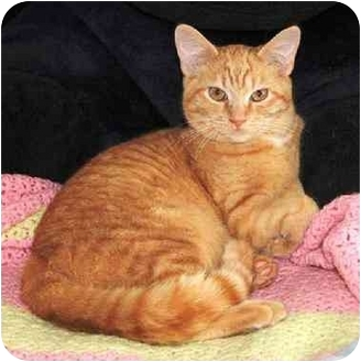 Domestic Shorthair Cat for adoption in Smyrna, Tennessee - z(CL) Tiger