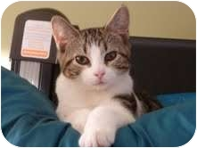 Domestic Shorthair Cat for Sale in Fredericton, New Brunswick - Matrix