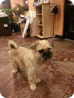Brussels Griffon Mix Dog for Sale in Brattleboro, Vermont - Lucy Lu